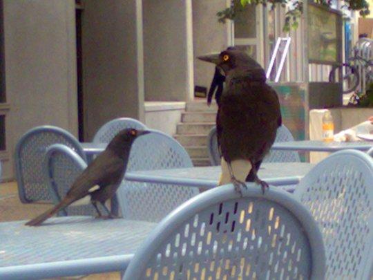 Burung Gagak teman makan siang di Kampus ANU