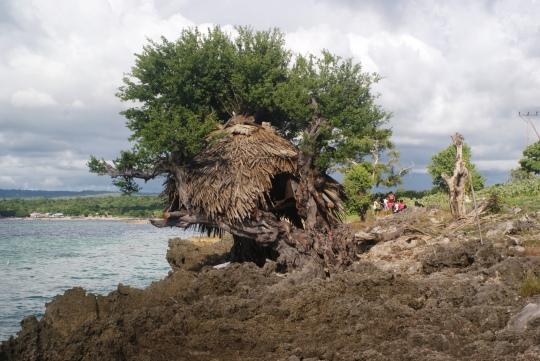 """Bonsai """"Kingkit"""" di Pantai Tablolong"""